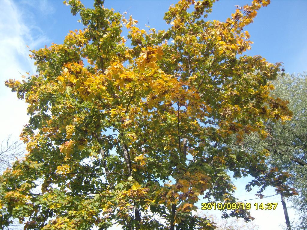 Клён. Блиц: осенние листья