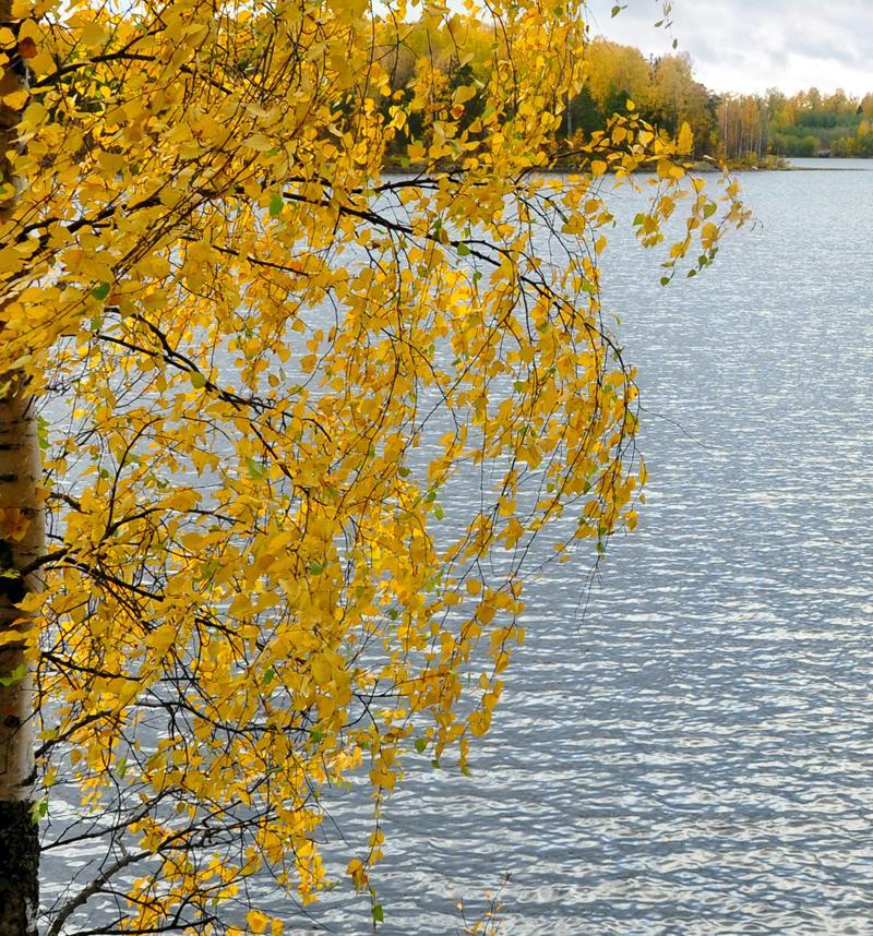 Осенняя березка. Блиц: осенние листья