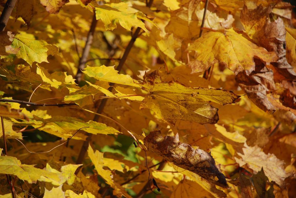 Золотые листочки!. Блиц: осенние листья