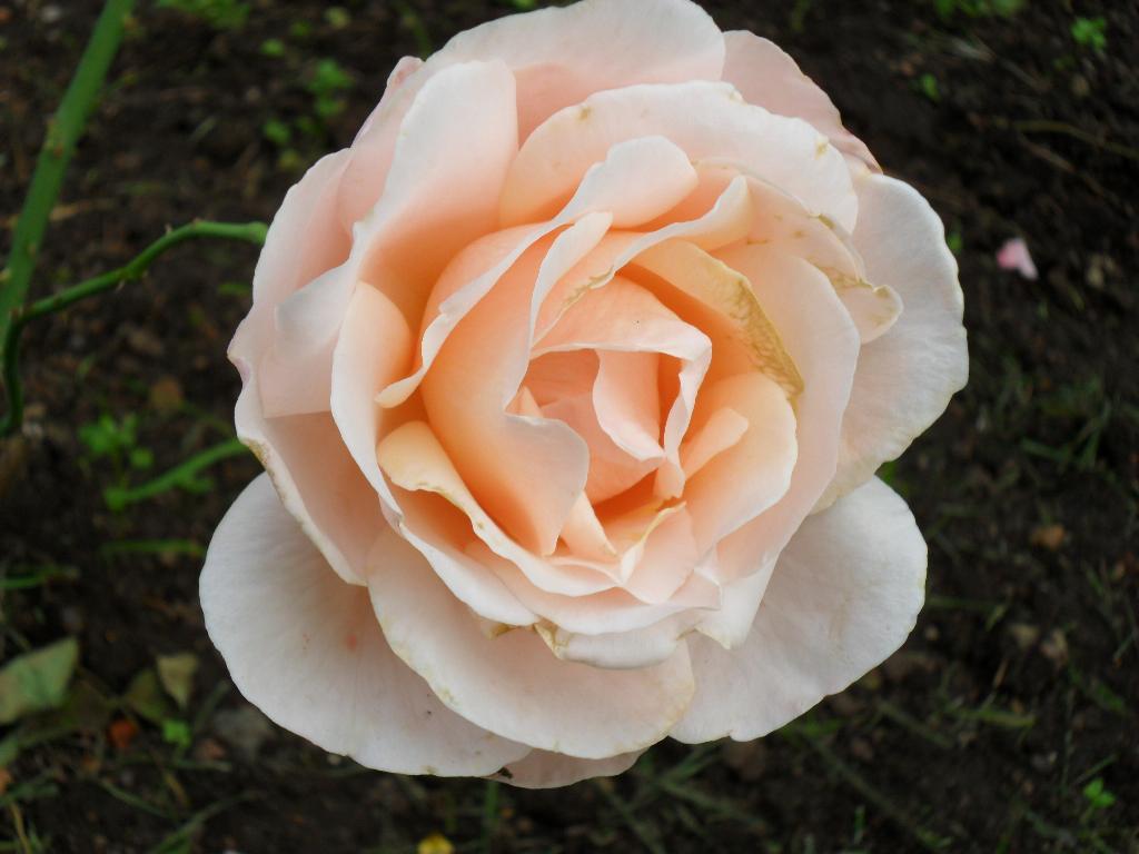Роза. Цветы