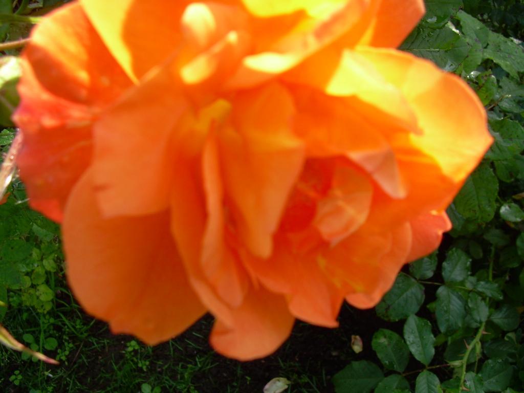 Розочка. Цветы