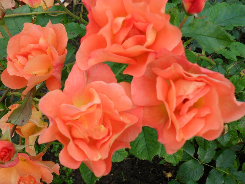 Розарий. Цветы