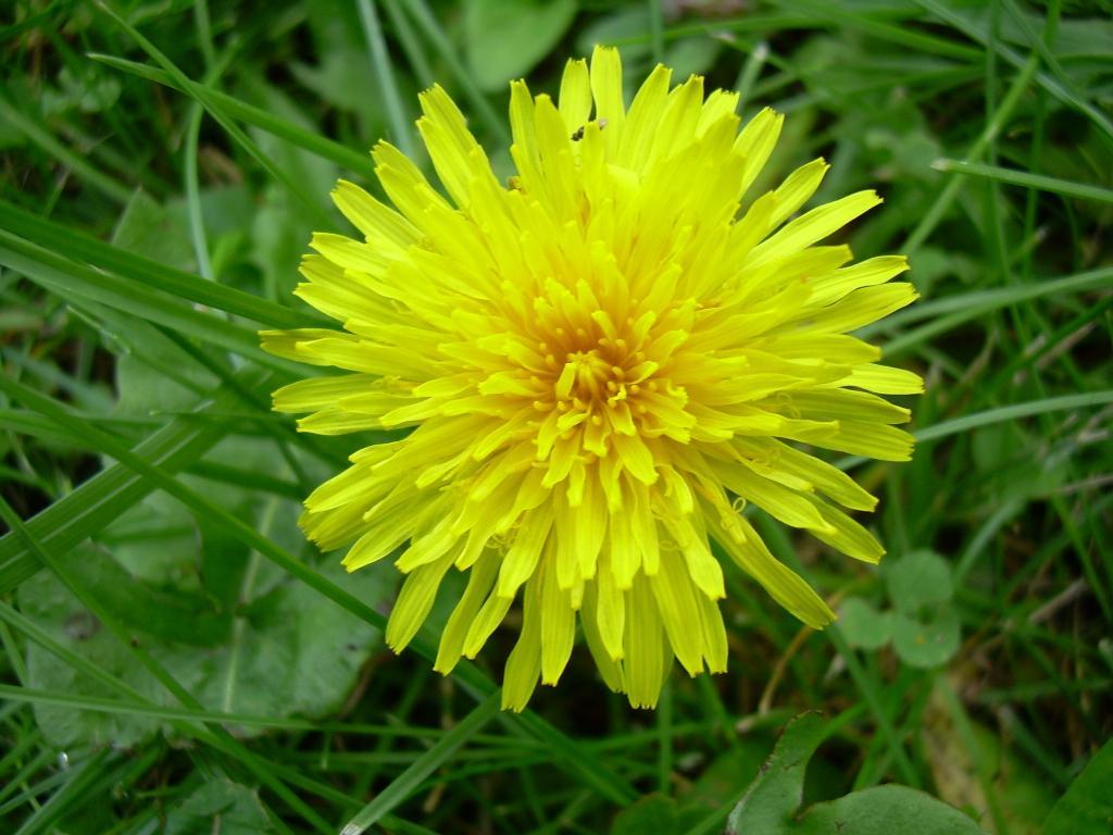 Одуванчик. Цветы
