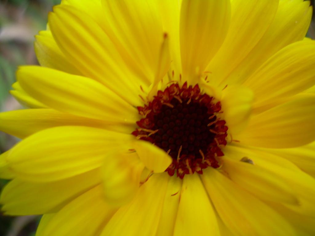 Ромашка. Цветы
