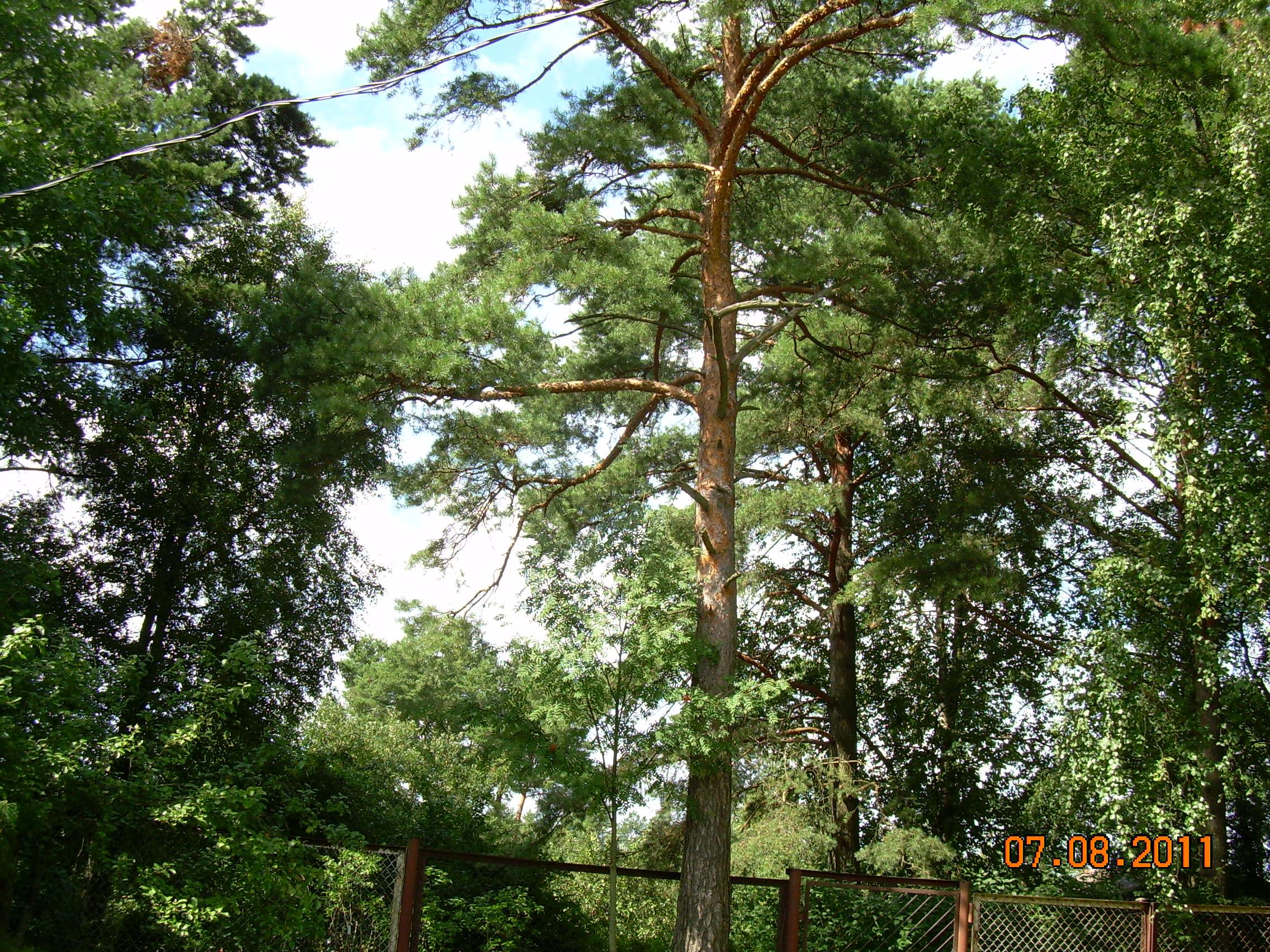 Сосна. Лесной пейзаж