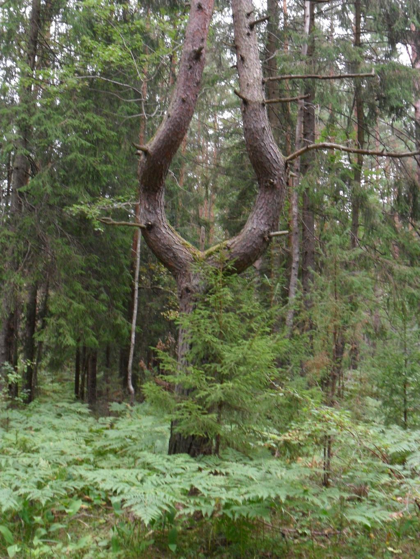 Чудо дерево. Лесной пейзаж