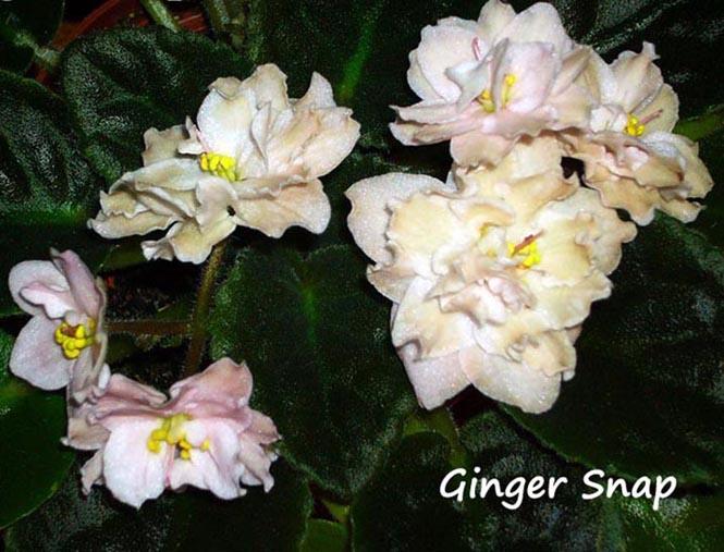 Ginger Snap. Растения комнатные