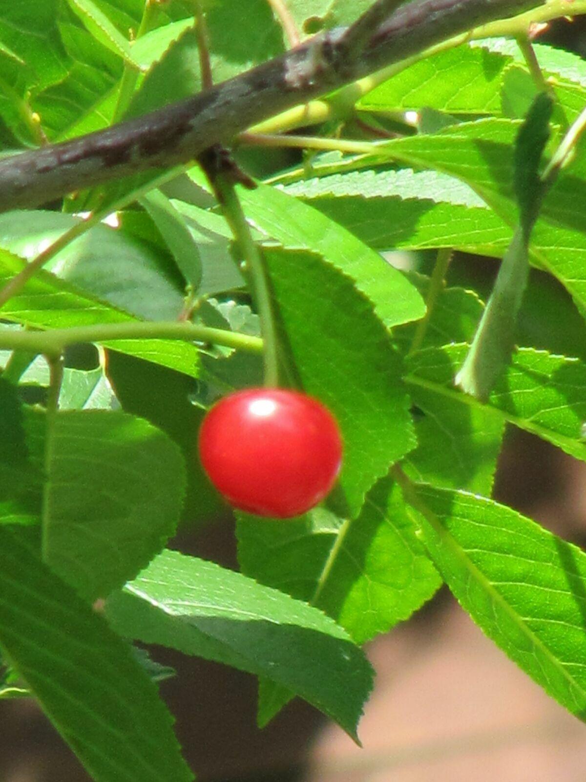 Черешенка. Блиц: ягоды