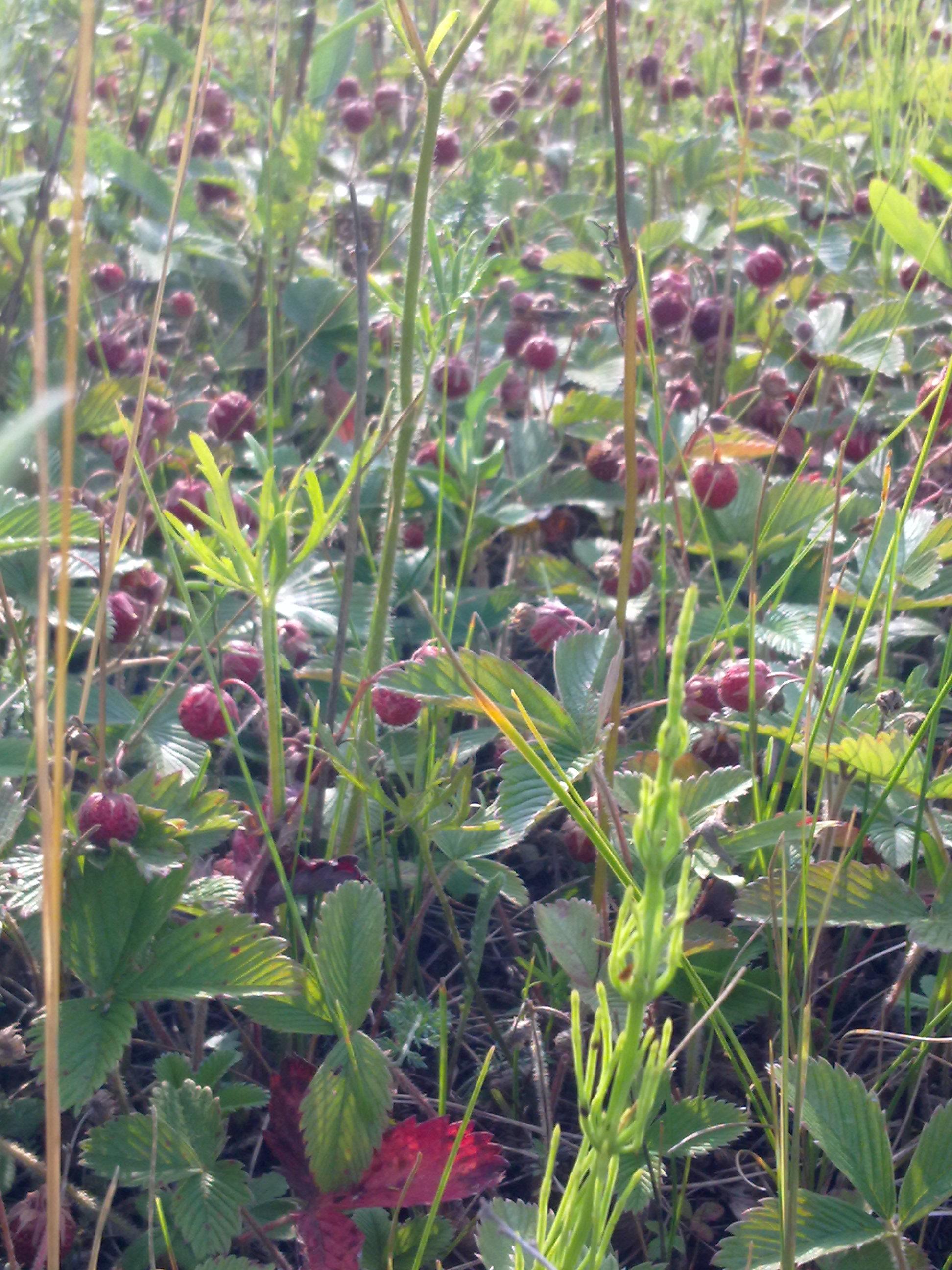 Спелая и ароматная клубничка полевая. Блиц: ягоды