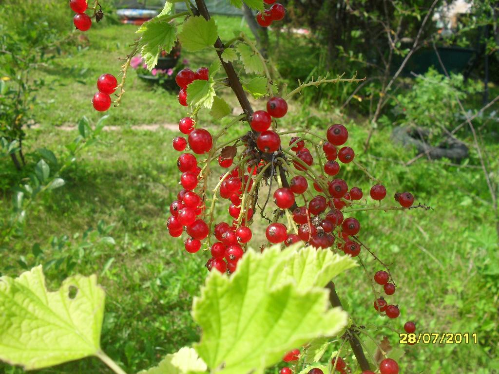 Смородинка.... Блиц: ягоды