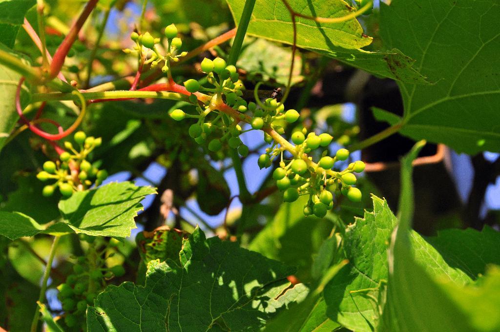 Еще 'зеленый' виноград. Блиц: зеленое
