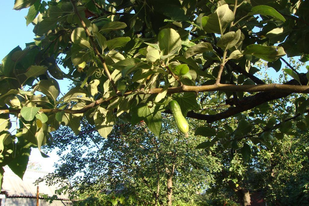 А у вас огурцы на деревьях растут?.