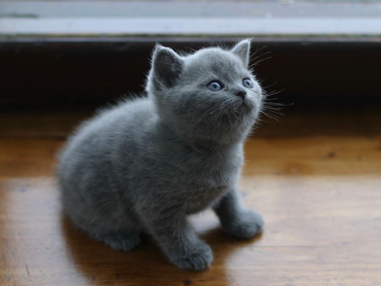 решила морочить шотландские котята прямоухие окрас фото проспекте кирова есть