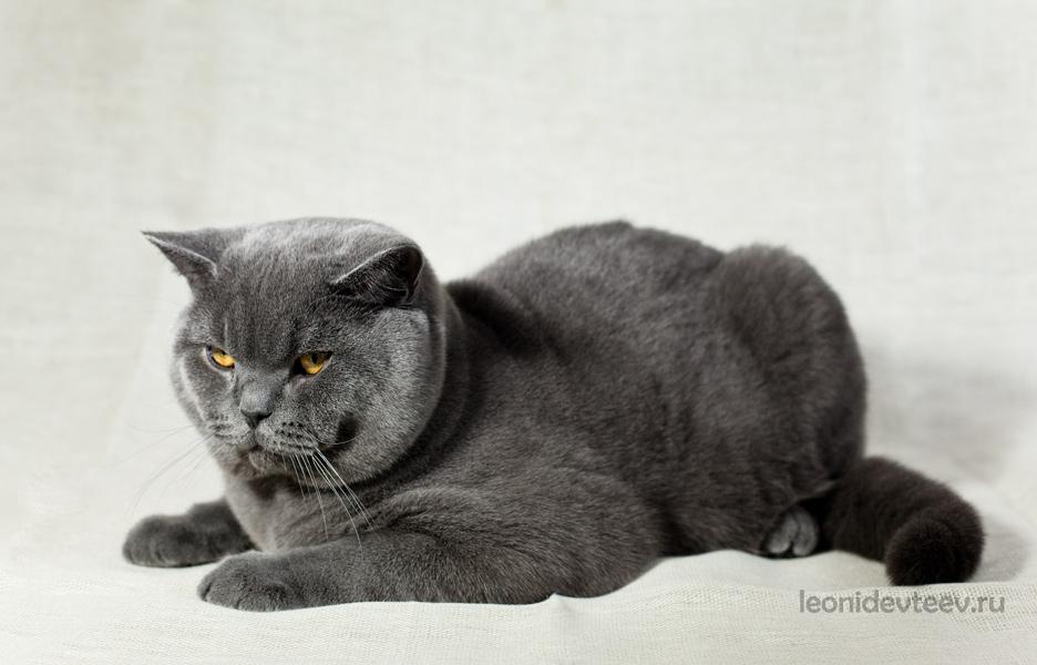 Британец. Cat