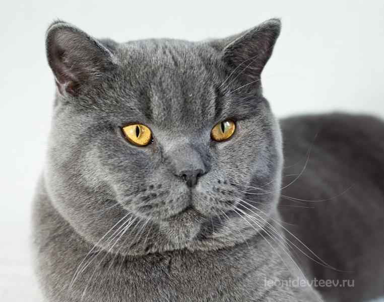 Британец . Cat