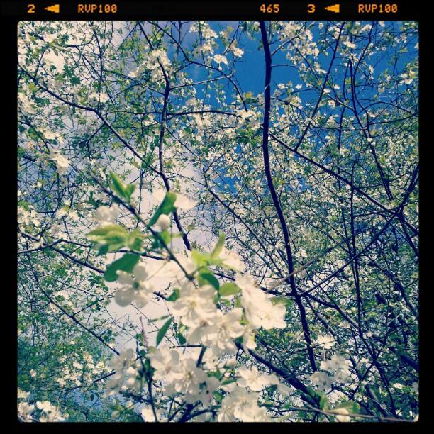 Всё начинают цвести деревья.. Весна апрель 2012