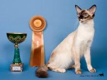Балинезийская кошка Fiona Bella Barus.