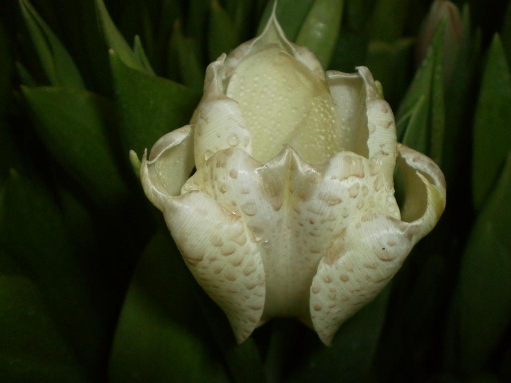 Не орхидея, но тюльпан. Цветы
