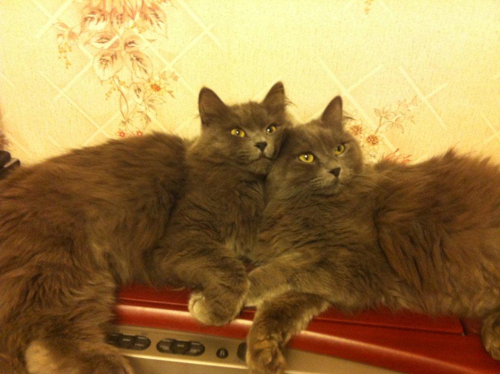 Эрни и Эмильен, коты сибирские, окрас solid blue