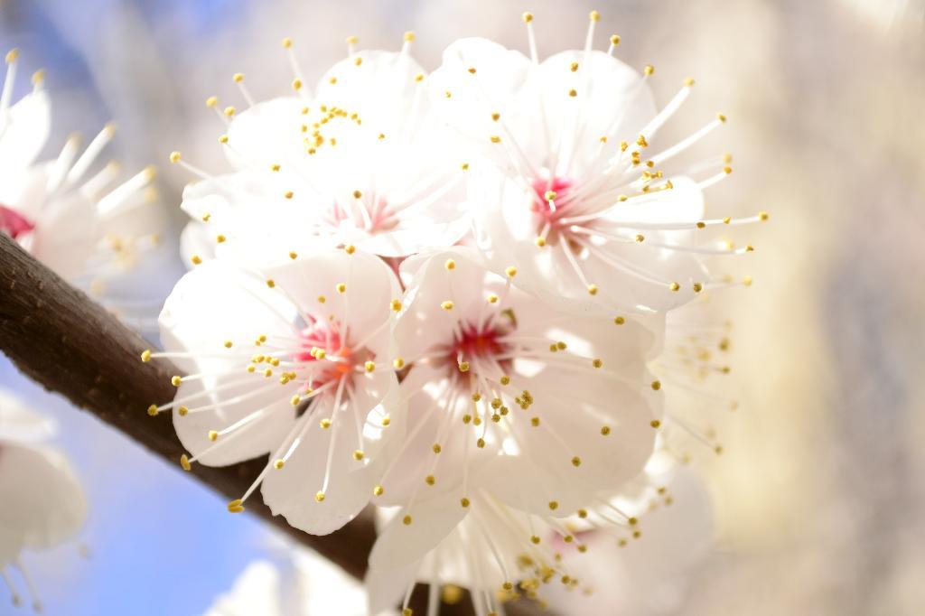 Будущие абрикосы. Блиц: весна идет!