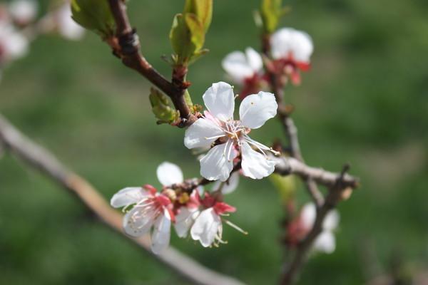 расцвела под окошком белоснежная вишня. Блиц: весна идет!