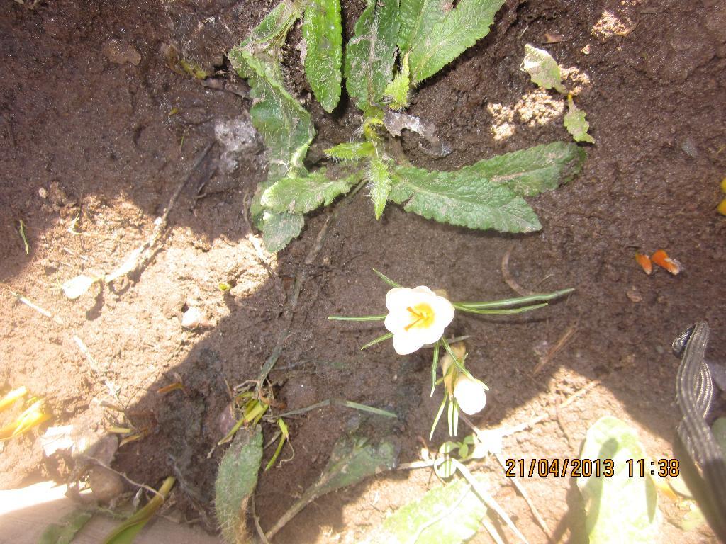 первый весенний цветок!. Блиц: весна идет!
