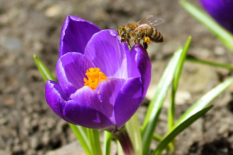 Первые цветы посетили первые в этом году пчелки.. Блиц: весна идет!