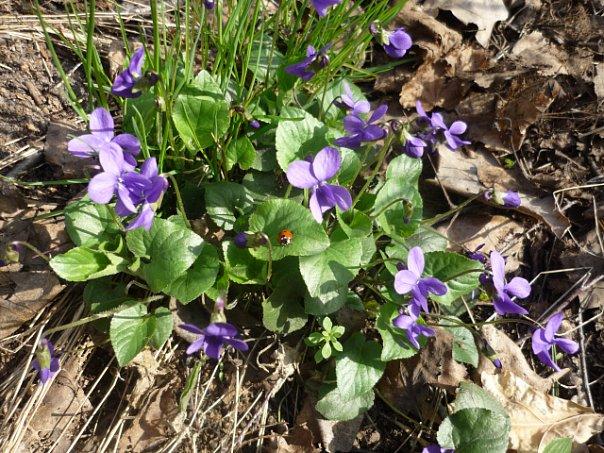 первые цветы в лесу. Блиц: весна идет!