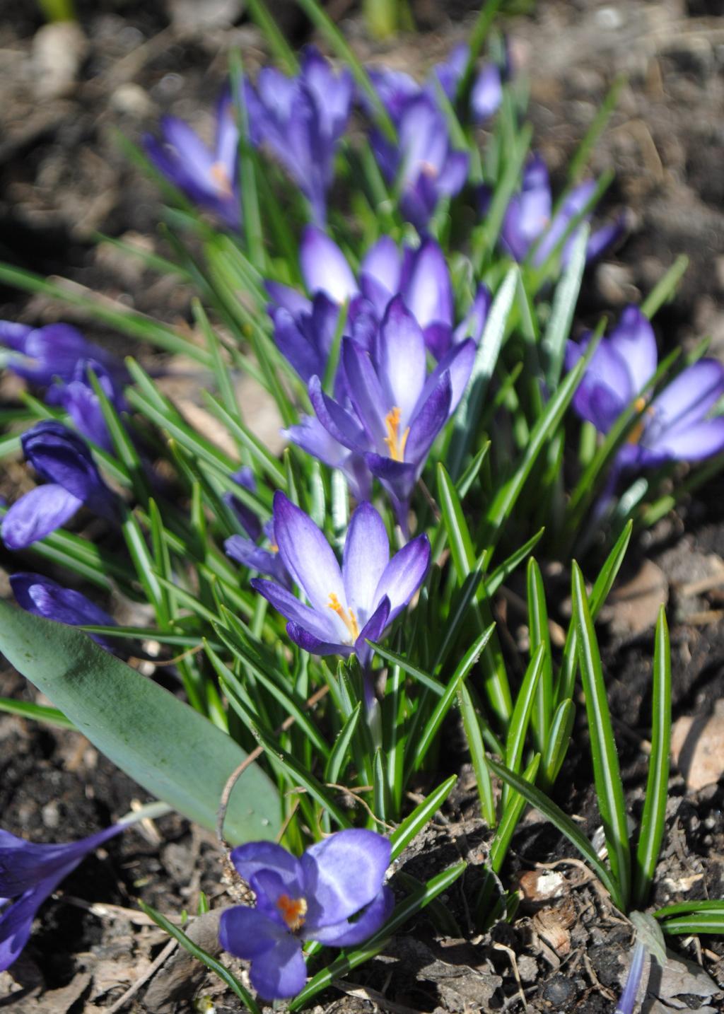 первые цветы. Блиц: весна идет!