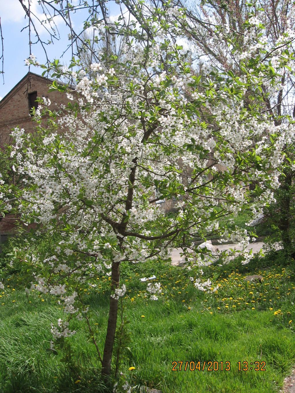 Цветение молодой вишни. Блиц: весна идет!