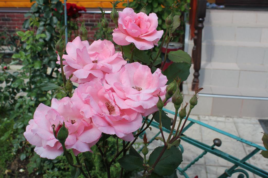 розы. Блиц: розовое