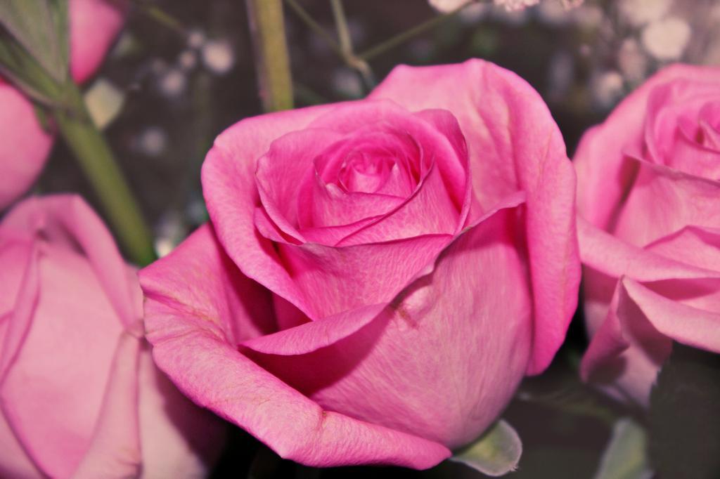 Pink rose. Блиц: розовое