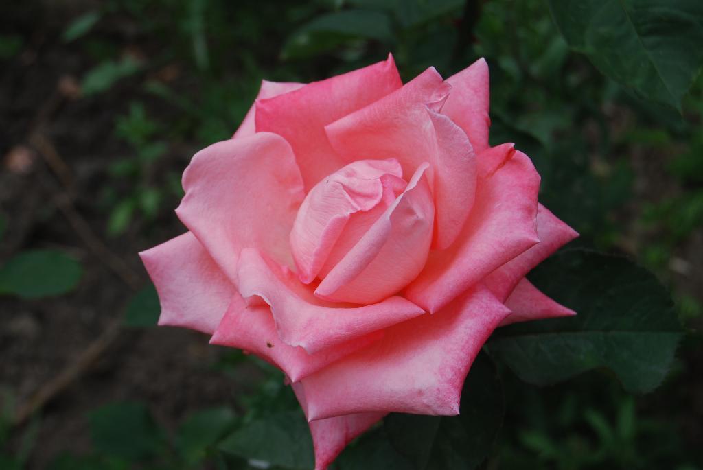 Розочка. Блиц: розовое