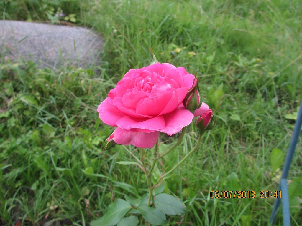Розовая роза.... Блиц: розовое