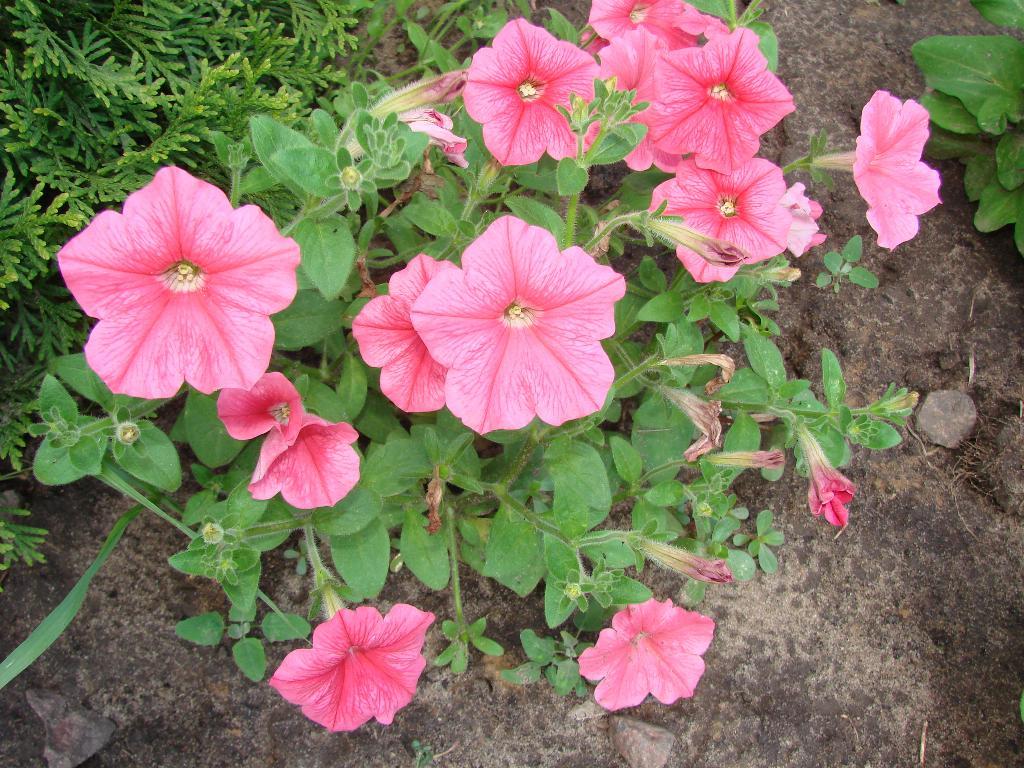 Розовая прелесть - петуньи. Блиц: розовое