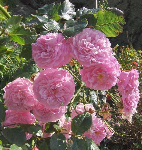 РОЗОВЫЕ РОЗЫ.... Блиц: розовое