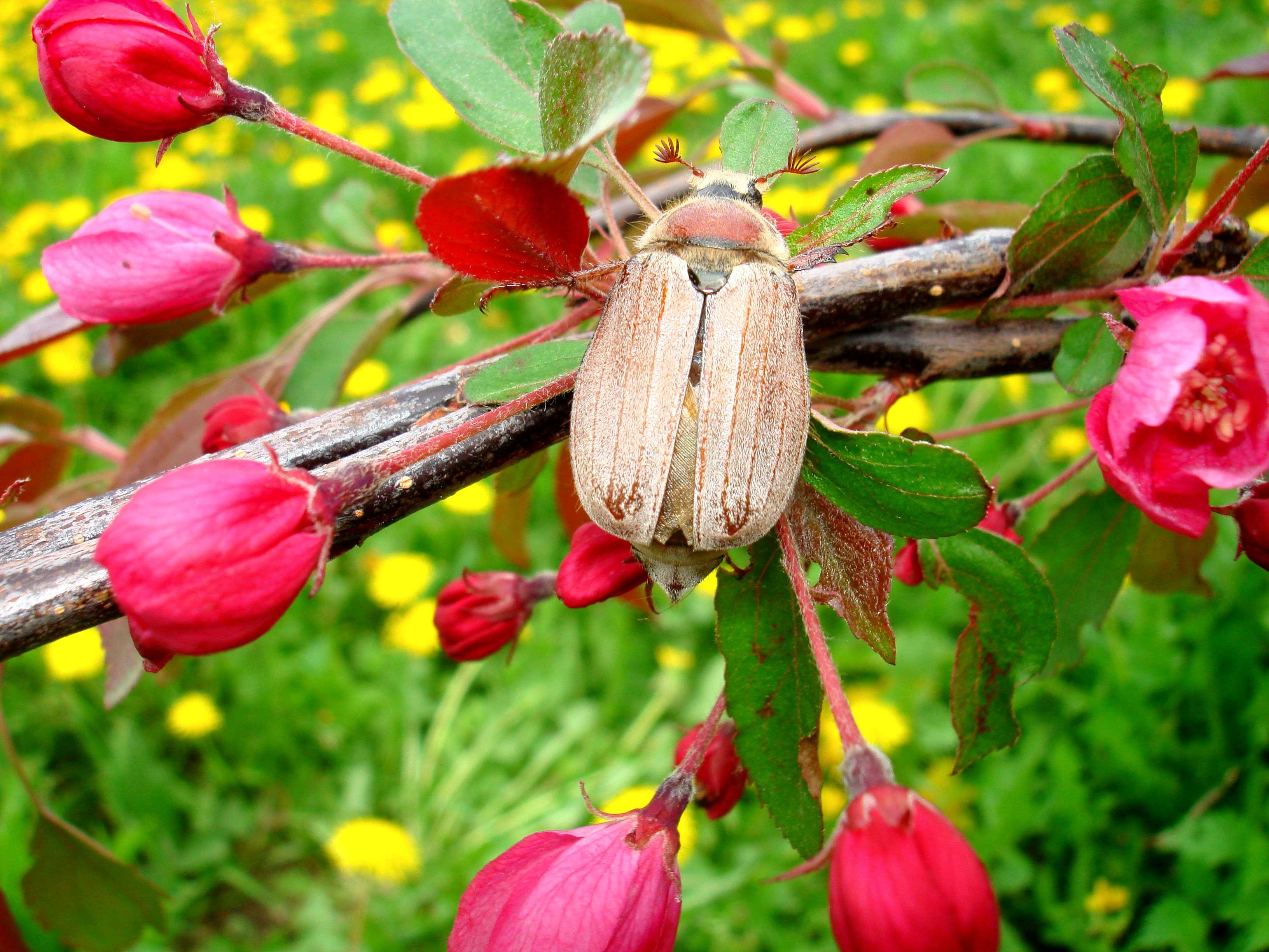 Розовая мечта Майского жука.. Блиц: розовое