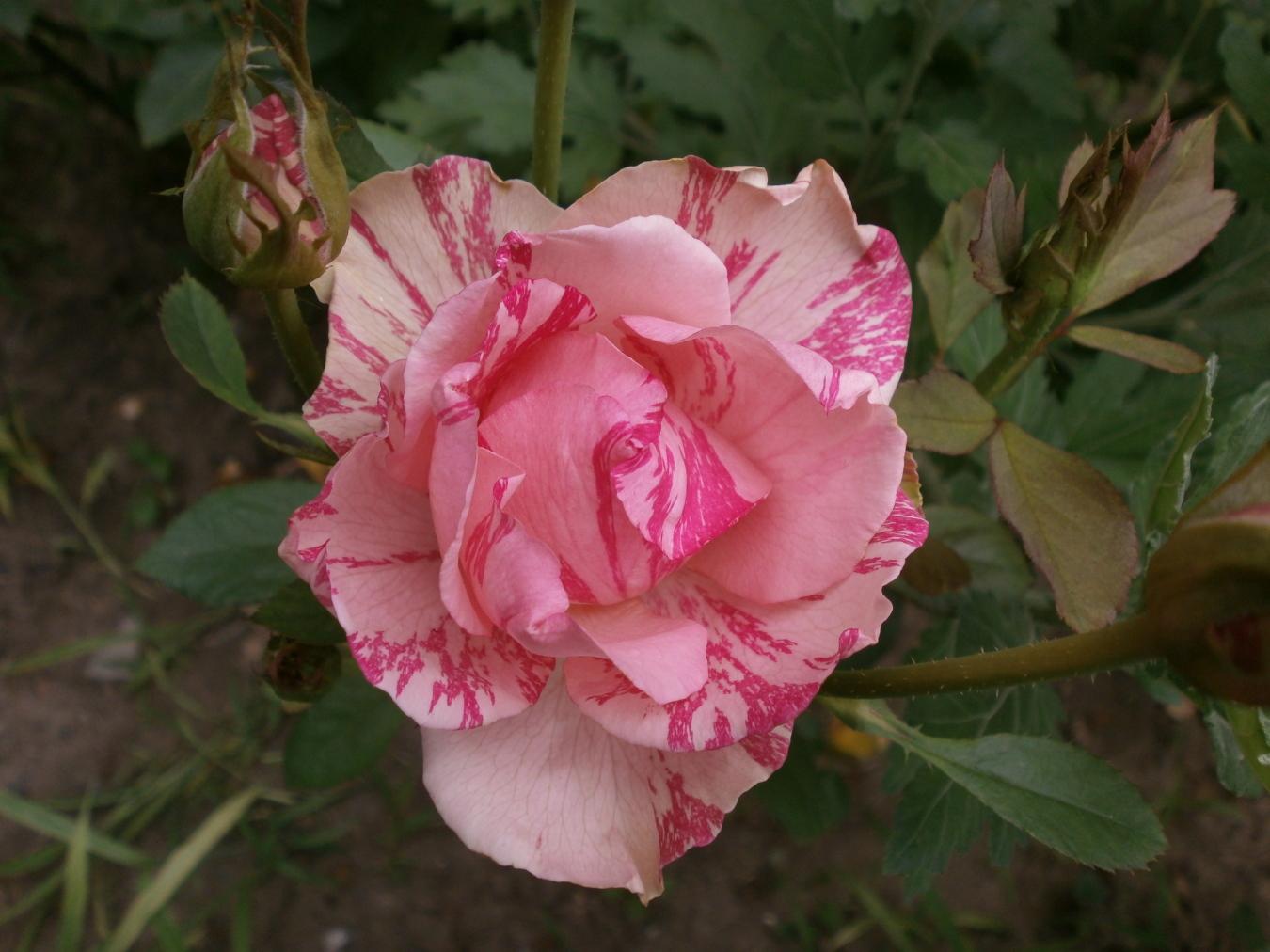 Роуз. Блиц: розовое