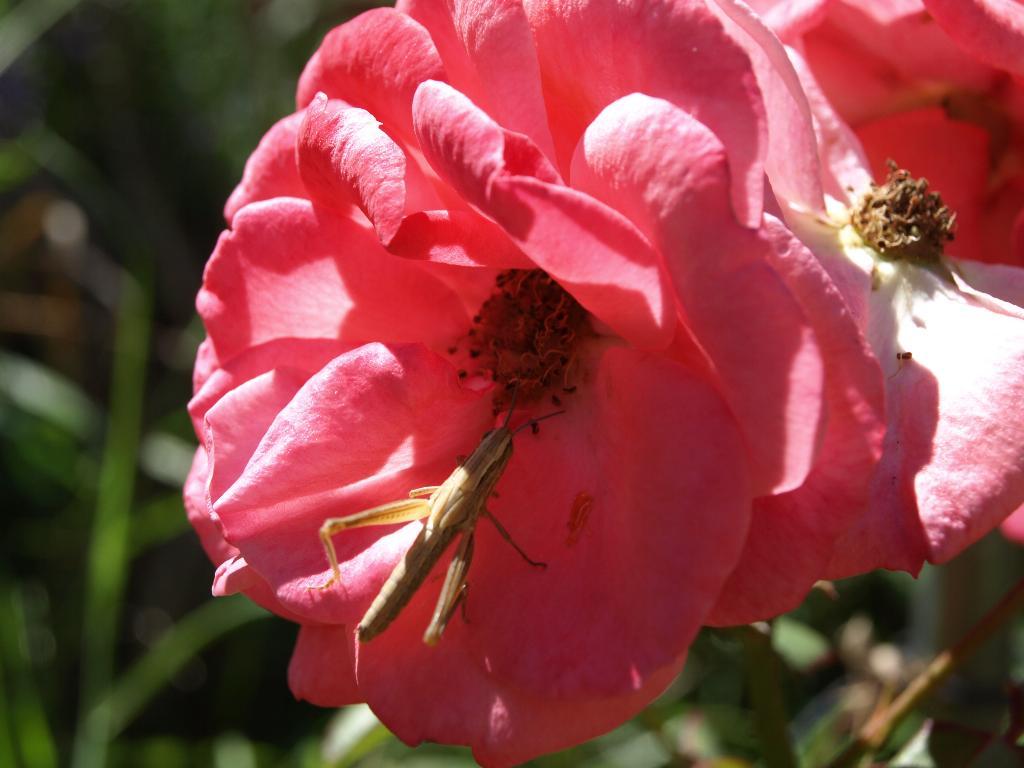 Кузнечик и роза.