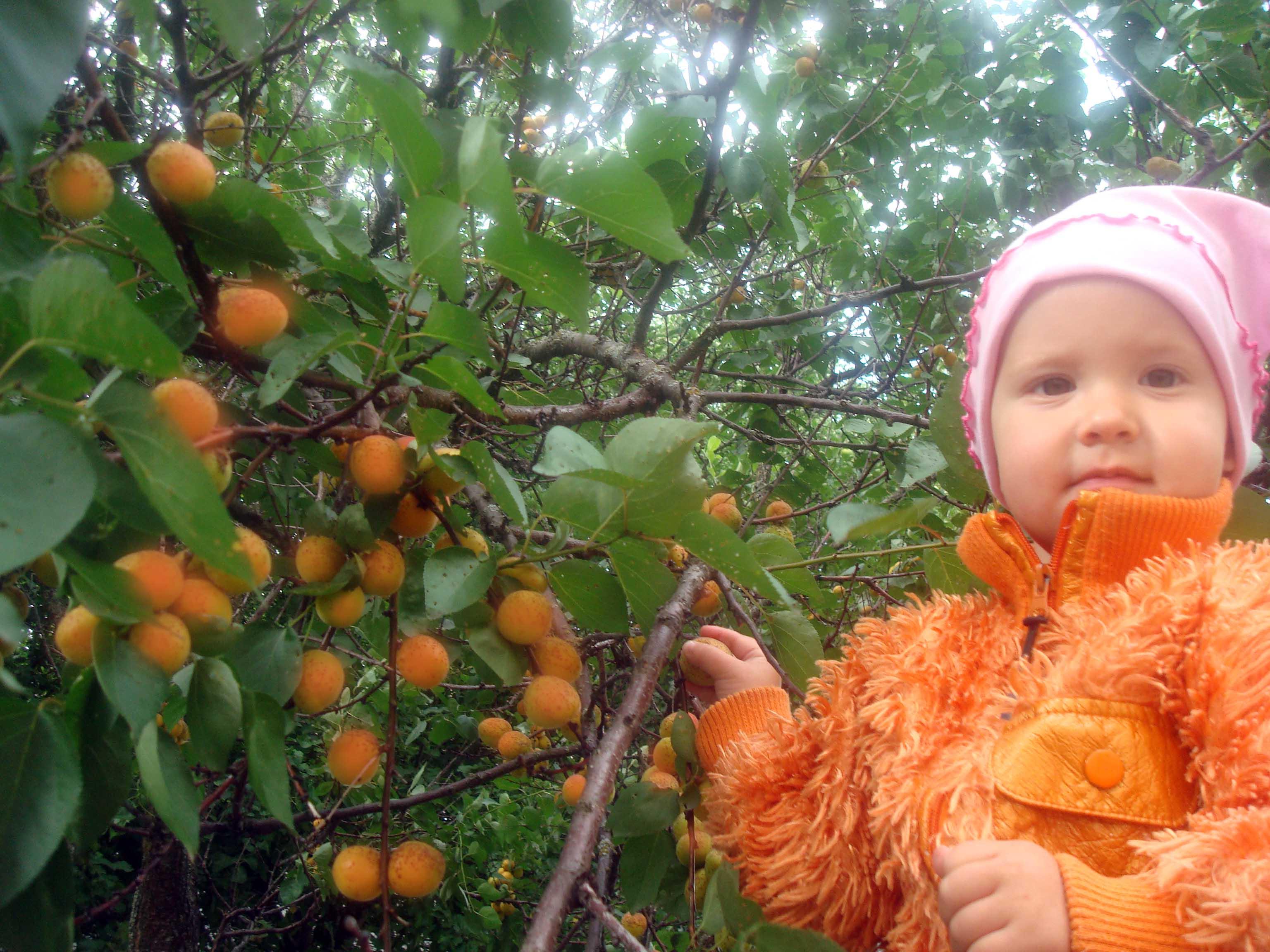 Собираем абрикосики. Дары лета