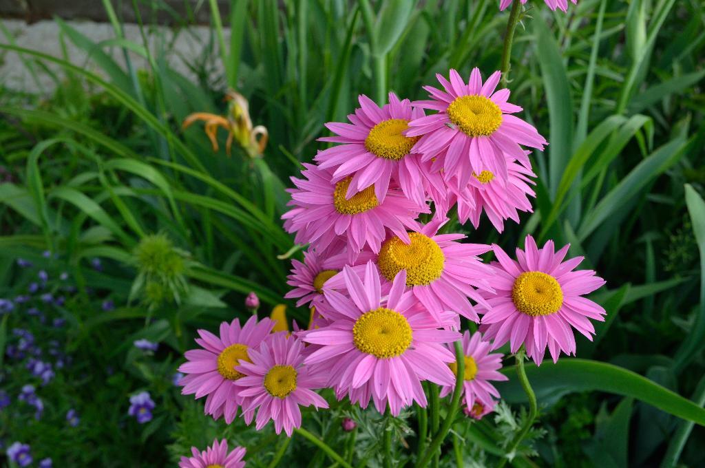 садовая ромашка. Блиц: розовое