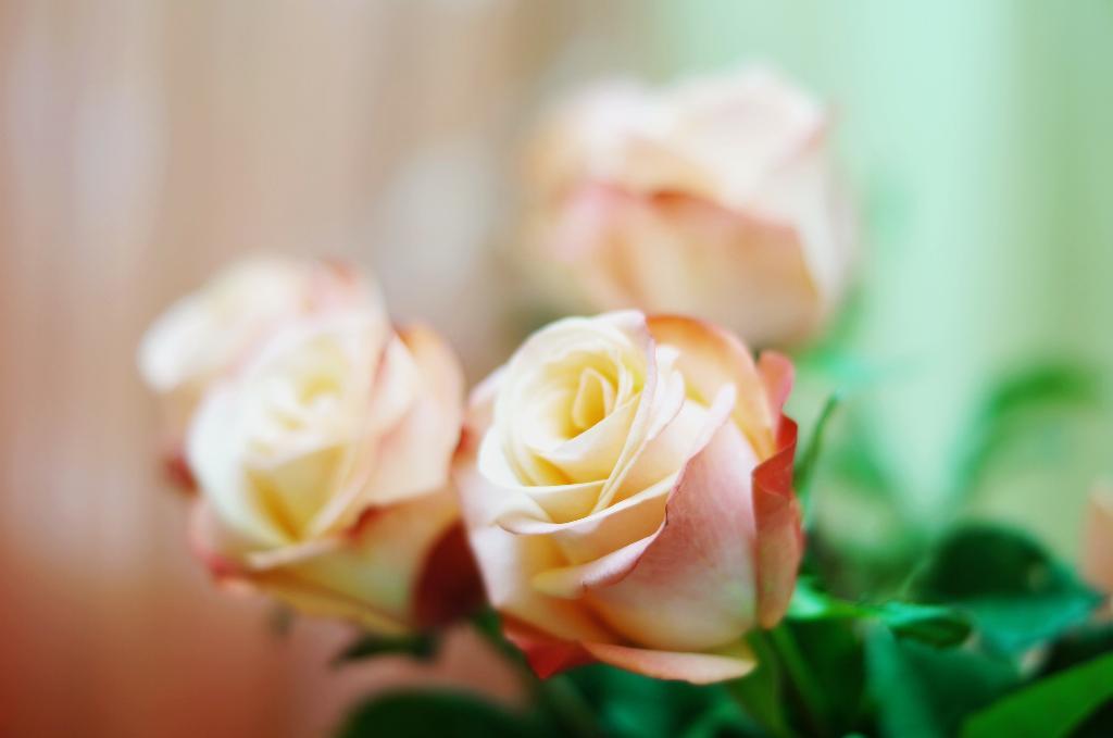 розовые розы. Блиц: розовое