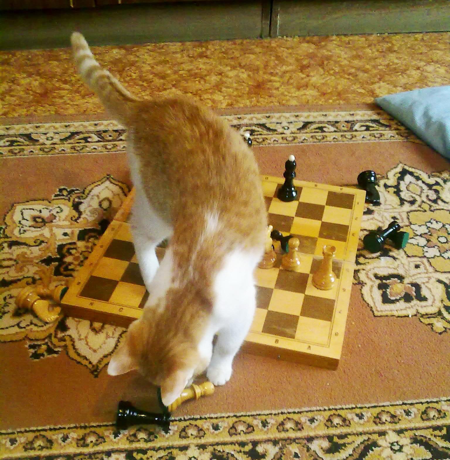 Юный гроссмейстер). Лучше кошки зверя нет!