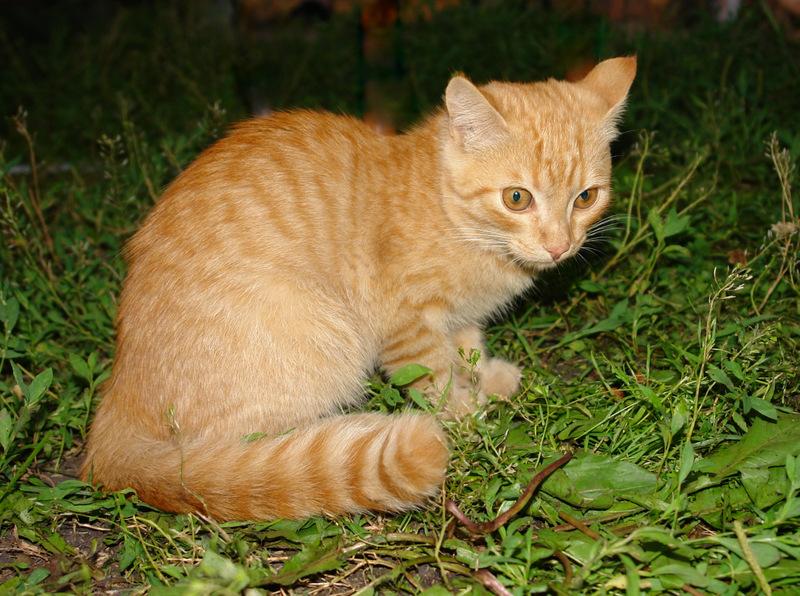 Рыжик с рыжими глазами. Лучше кошки зверя нет!