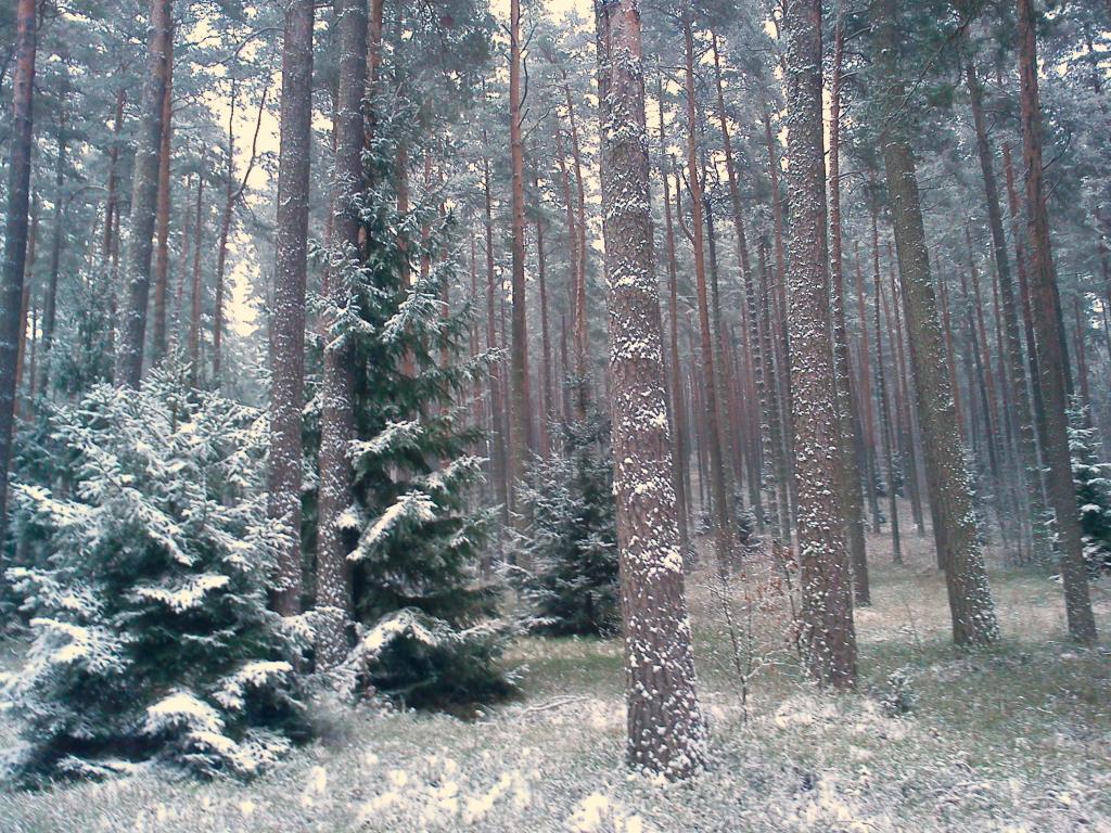 первый снег. Лесной пейзаж