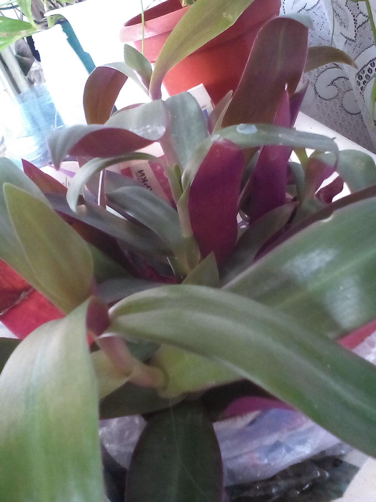 Рэо. Растения комнатные