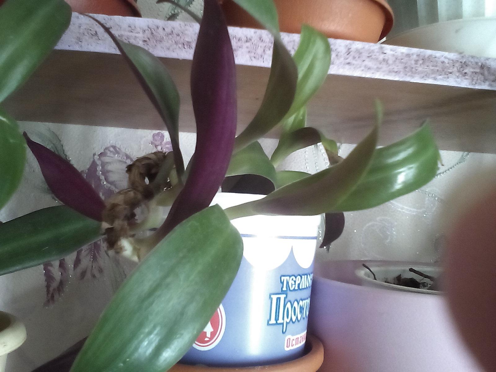 Рэо в стаканчиках. Растения комнатные