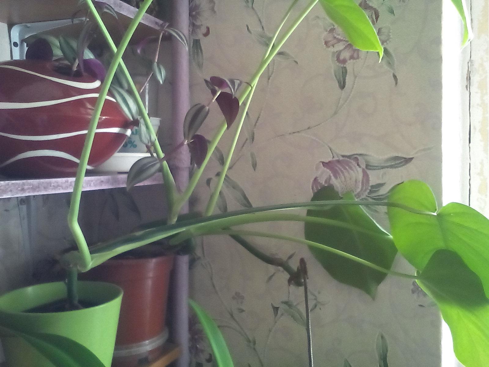 Монстера молодая. Растения комнатные