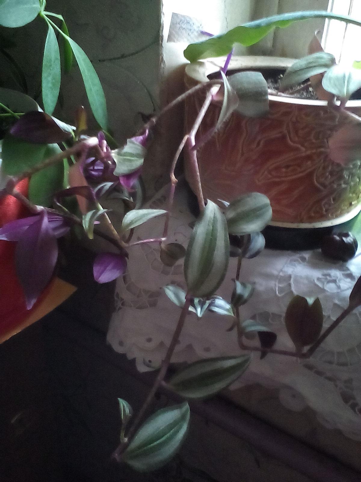 Традесканция Зебрина. Растения комнатные