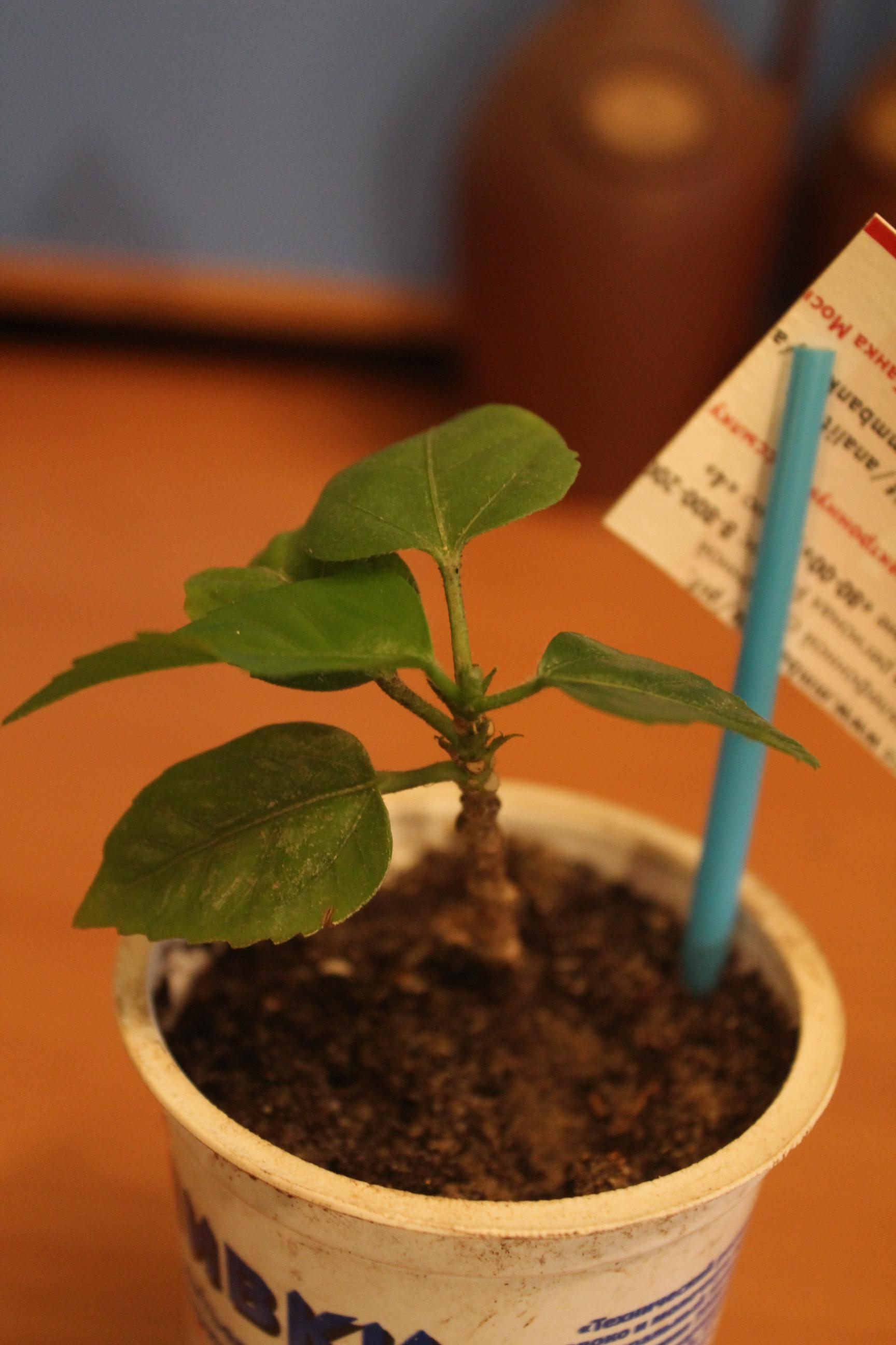 Гибискус Растишки. Растения комнатные
